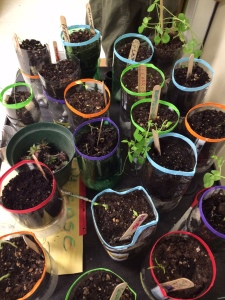 Plants growing in the soda bottle auto watering system.  Photo courtesy